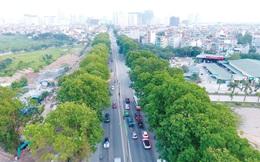 Hà Nội: Đề nghị xem lại phương án di chuyển 1.200 cây xà cừ