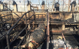 Hàng trăm con lợn đột ngột bị thiêu sống, chủ trang trại khóc ròng