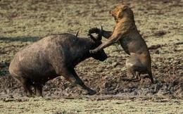 7 ngày qua ảnh: Trâu rừng liều mình quyết chiến lần cuối với sư tử