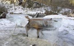 7 ngày qua ảnh: Cáo bị đóng băng dưới sông Danube