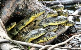 24h qua ảnh: Đàn rắn thò đầu ra khỏi hang dưới gốc cây
