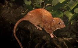 Phát hiện loài chuột khổng lồ, khỏe kinh ngạc,  cắn vỡ cả quả dừa