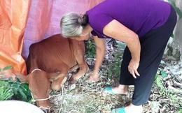 """Giám đốc """"thú thật"""" 2 cấp dưới lạm quyền trong vụ 29/30 con bò hỗ trợ bị lở mồm long móng"""