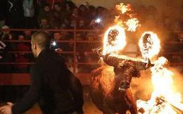 Số phận đau thương những chú bò trong lễ hội Tây Ban Nha: Sừng bị thiêu rụi, quằn quại trong lửa