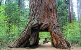 Mỹ: Bão lớn quật ngã cây cổ thụ khổng lồ 1.000 năm tuổi, biểu tượng của bang California