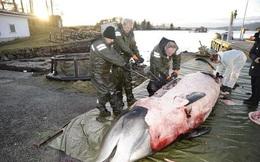 Phát hiện dị vật bất ngờ trong bụng con cá voi 2 tấn bị mắc cạn