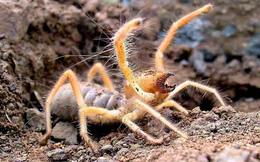 Có thể giết người chỉ bằng 1 cú cắn: Đây là sinh vật có hình dáng lai nhện và bọ cạp