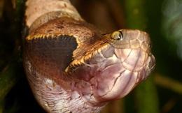 """Nếu bạn nhìn ảnh này mà bảo đây là con rắn thì nhầm to, thế mới thấy sinh vật tự nhiên giỏi """"cosplay"""""""