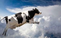 """""""Những con bò bay"""" đầu tiên hạ cánh nhằm thỏa cơn khát sữa ở Qatar"""