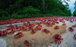 """Cuộc di cư """"rầm rộ"""" của hàng triệu con cua nhuộm đỏ cả một hòn đảo"""