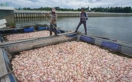 Gần 100 tấn cá nuôi chết trắng sông Cổ Cò, dân không kịp trở tay