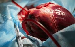 Nghiên cứu của ĐH Havard: Tạo ra cá thể heo mới để cấy nội tạng cho người