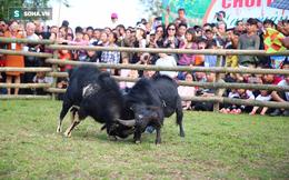[ẢNH] Độc đáo lễ hội chọi dê Hoàng Su Phì