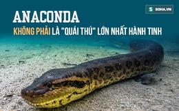 """Chúng ta đã nhầm, Anaconda không phải là """"quái thú"""" lớn nhất trên Trái Đất - Đây là lý do"""