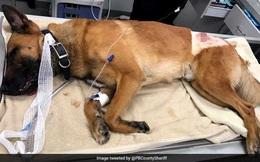 Chó nghiệp vụ đỡ đạn cho người huấn luyện