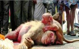 Tình mẫu tử: Khỉ con ôm chặt mẹ không rời sau vụ tai nạn thảm khốc