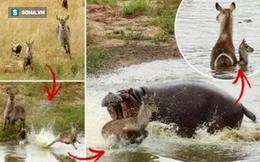 Từ đồng cỏ đến đầm lầy: Linh dương ba lần thoát chết trong gang tấc