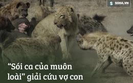 """Vội cứu vợ con, sư tử đực """"tả xung hữu đột"""" giữa bầy găng-tơ đồng cỏ"""