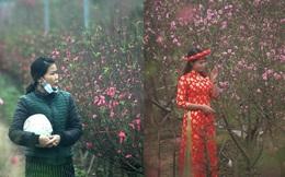 """Chưa Tết, đào Nhật Tân đã bung nở: Người tươi cười chụp ảnh, người ôm cây """"khóc ròng"""""""