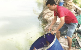 Thu tiền tỷ từ nuôi cá giống lăng nha