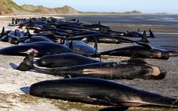 New Zealand lo xác cá voi phát nổ như bom