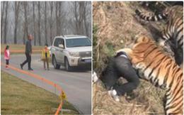 Trung Quốc: Cả gia đình hồn nhiên tản bộ giữa khu vực công viên từng có hổ vồ chết người