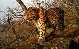 Vô tình quay được hình ảnh một trong những loài báo quý nhất thế giới