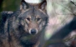 Đan Mạch: Xuất hiện đàn sói đầu tiên sau hơn 200 năm