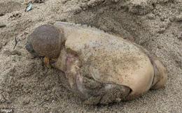 Phát hiện sinh vật kỳ lạ không mắt không miệng, chỉ có hai u trên bờ biển California