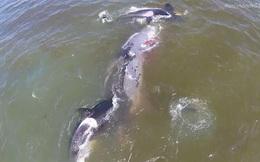 Đánh nhanh thắng gọn: Cá voi sát thủ tấn công cả con mồi lớn gấp 3 lần