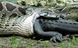 Loài trăn lớn nhất thế giới anaconda có thích... thịt người không?