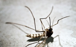 Thế giới có đảo lộn nếu loài muỗi biến mất hoàn toàn?