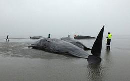 """Lộ diện """"hung thủ"""" bí ẩn khiến hàng loạt cá voi khổng lồ mắc cạn"""