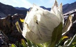 Hàng độc: Chè sen tuyết Tây Tạng, trà hoa hồng 9 năm nở 1 lần