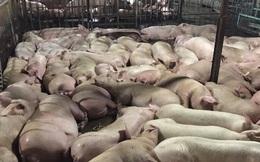 Bắt quả tang cơ sở giết mổ bơm thuốc an thần vào lợn