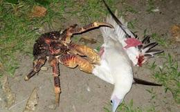 Kinh dị loài cua khổng lồ bóc dừa, bẻ chim và thống trị cả một hòn đảo