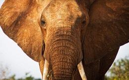 Đến gần voi chụp ảnh, du khách bị giẫm chết