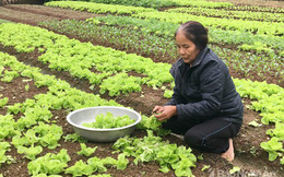 """Cả xóm hò nhau trồng rau sạch, ăn """"thả ga"""" còn bán có tiền rủng rỉnh"""