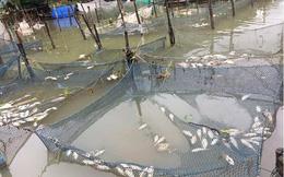 Dân Huế khóc ròng vì hàng trăm tấn cá đặc sản chết nổi trắng lồng sau lũ