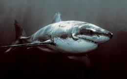 Thuyền trưởng tàu sửa cáp khẳng định rằng việc cá mập cắn cáp là có thật