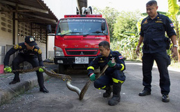 Thái Lan: Cơn ác mộng 31.801 con trăn, rắn chui lên từ bồn cầu ám ảnh người dân