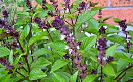 """""""Đuổi"""" muỗi phòng sốt xuất huyết bằng cây cỏ trong vườn nhà"""