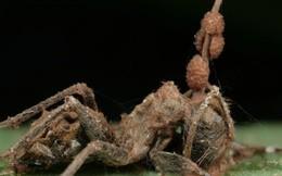 Lại thêm khám phá giật mình về loài nấm kí sinh biến kiến thành xác sống