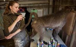 Rợn tóc gáy cảnh tượng trong nhà máy nhồi xác 6000 động vật mỗi năm