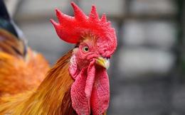Thành triệu phú nhờ bán gà trống thiến dịp Tết