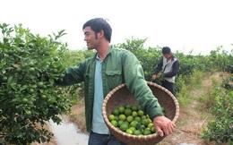 Thu nhập hàng trăm triệu/năm nhờ về làng thuê đất trồng chanh 4 mùa và táo ngọt