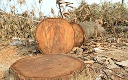 Chặt cây đòi... vỉa hè ở Thạch Thất: Gỗ về đâu?