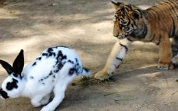 Chuyện hổ, cáo và thỏ: Con người vốn không ai hoàn hảo, biết nhìn nhận điểm yếu của bản thân và vượt qua nó cũng là thành công