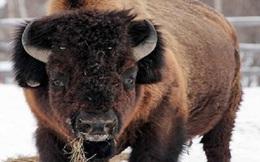 Cơ hội hồi sinh loài bò 900 kg tuyệt chủng cách đây hơn 11.700 năm