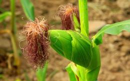 Thuốc giải độc từ cây ngô